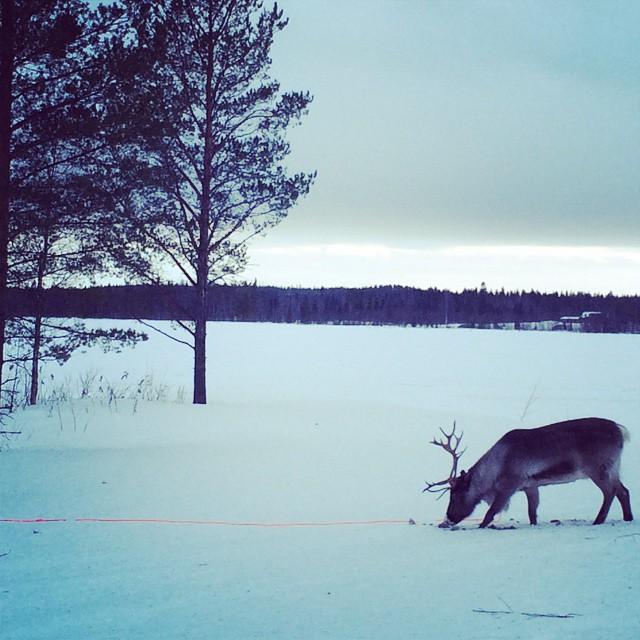 Shooting some reindeer in northern Sweden